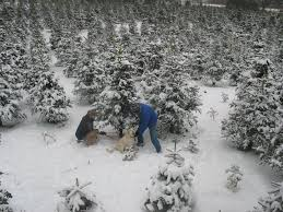 Fraser Fir Christmas Trees Kent by Pfaff U0027s U Cut Christmas Trees 98092 Auburn 29204 124th Ave Se