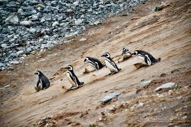 100 penguin desk copies canada penguins of america james