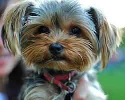 yorkie poo puppies for sale with pictures info about breeders