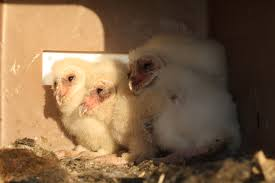 Barn Owl/Rodent Research Project | California Vineyard | Barn Owl ... Barn Owl New Zealand Birds Online Audubon California Starr Ranch Live Webcams Barn Red My Pet Pupo The Barn Owl Mouse Youtube Babyowl Explore On Deviantart Adopt An The Wildlife Trusts Wikipedia Owlrodent Research Project Vineyard Owl Lookie My Pet Growing Up Growing Up Album Imgur Made Out Of Wood And Plant Materials I Found At Parents