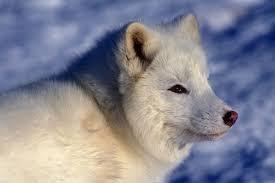 Animales árticos Polares La Colección Del Esquema De Reno De