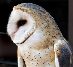 SCVNews.com | Opinion/Commentary: Barn Owl: Beautifully Adapted ... Catching Prey In The Dark Barn Owl Tyto Alba Owls Make A Comeback Iowa The Gazette Of Australia Australian Geographic How To Build Or Buy Nest Box Company Best 25 Ideas On Pinterest Beautiful Owl Owls And Modern Farmer Absolutely Stunning Barn Drawing From Artist Vanessa Foley Audubon California Starr Ranch Live Webcams Red By Thef0xdeviantartcom Deviantart Tattoo Scvnewscom Opinioncommentary Beautifully Adapted 9 Best Images A Smile Animal Fun