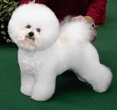 List Of Non Shedding Hypoallergenic Dogs by Cutest Non Shedding Dog Breeds Breed Dogs Picture