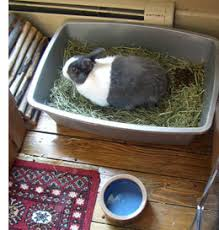 living with a house rabbit litter training