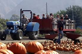 Pick Of The Patch Pumpkins Santa Clara by Hunting For A Great Pumpkin Try These Patches
