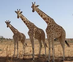 West African Or Nigerian Giraffe