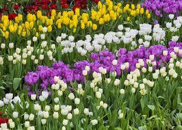 how to grow flowering bulbs garden club