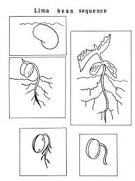 Growing Plants Lima Bean Sequence Coloring Page