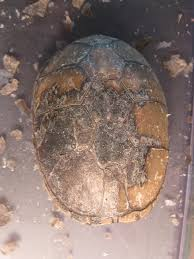 Turtle Shell Not Shedding Properly by Mud Turtle Really Needs To Shed Sand U0026 Silt Turtle Forum
