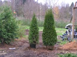 Leyland Cypress Christmas Trees Louisiana by Emerald Green Arborvitae What You Need To Know Back Of The Yard