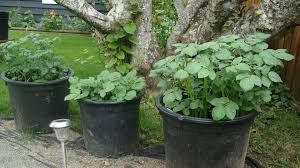 Grow Potatoes In Containers | Backyard Diva Texas Garden The Fervent Gardener How Many Potatoes Per Plant Having A Good Harvest Dec 2017 To Grow Your Own Backyard 17 Best Images About Big Green Egg On Pinterest Pork Grilled Red Party Tuned Up Want Organic In Just 35 Vegan Mashed Potatoes Triple Mash Mashed Pumpkin Cinnamon Bacon Sweet Gardening Seminole Pumpkins And Sweet From My Backyard Potato Salad Recipe Taste Of Home