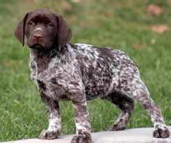 german shorthaired pointer shed german shorthaired lab german shorthaired pointer x lab mix