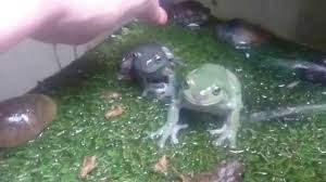 Do Aquatic Dwarf Frogs Shed Their Skin by Frog Feeding Time Youtube