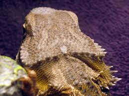 Bearded Dragon Shedding A Lot by Shedding Q Old Skin That Never Shed Or Discoloration U2022 Bearded