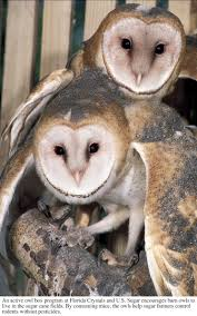 An Active Owl Box Program At Florida Crystals And U.S. Sugar ... Usda Studying Iowa Rodents For Avian Flu Public Radio Subtle Elegancebarn Owl Canvas Print Art By Catherine Dubuque County Part Of Barn Owl Boom As Orphaned Owlets Find Home J Thaddeus Ozarks Cookie Jars And Other Larks Love These Meeces Deer Mice Mouse Control Rats New York Stock Photos Images Alamy Barn Cat Traing To Hunt Mice Youtube Tyto Alba Family Tytonidae Parent Bird Bring Its Removal Houston Dallas Fworth 911 Wildlife
