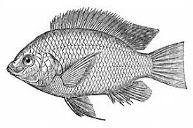 28 Collection Of Tilapia Fish Clipart