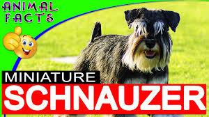 Do Giant Schnauzer Dogs Shed Hair by Miniature Schnauzer Dogs 101 Miniatureschnauzer Dog U2013 Animal Facts