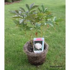 pivoine herbacee en pot herbacée vivace blanche duchesse de neumours 2 3 branches