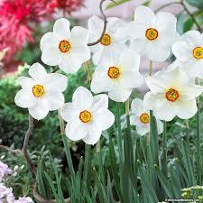 the poet s daffodil bulbs actaea american
