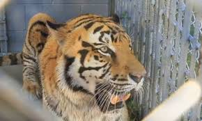 100 Tiger Truck Stop Louisiana Permit To Keep Tony The Tiger At Baton Rougearea Truck Stop