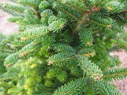 Nordmann Fir Christmas Tree Smell by 12 Species Of Fir Trees Members Of The Abies Genus