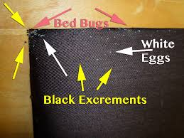 Baby Bed Bugs Eggs Tell Tale Signs Pest Control of
