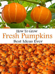 Monrovia Pumpkin Patch by Best 25 When To Pick Pumpkins Ideas On Pinterest Diy Beauty