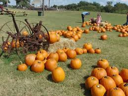 Grapevine Texas Pumpkin Patch by The Best Pumpkin Patches In Texas Having Fun In The Texas Sun