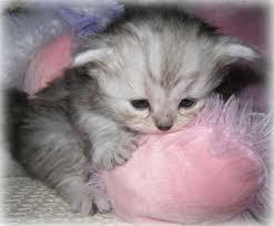 tea cup cat teacup kittens napoleons lambkins minipaws minipers