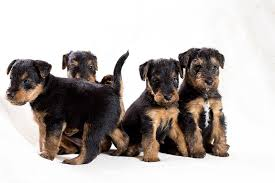 Airedale Terrier Non Shedding by Airedale Terrier Airedale Terrier Pet Insurance U0026 Dog Breed Info