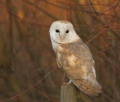 12 Barn Owl Facts You Need To Know