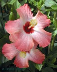 Hawaii State Flower Yellow Hibiscus