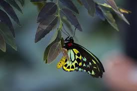 100 Butterfly House Melbourne Cairns Birdwing With Eggs This Is A Male Cairns Birdwing