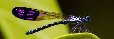 Dragonfly Meaning & Symbolism A message