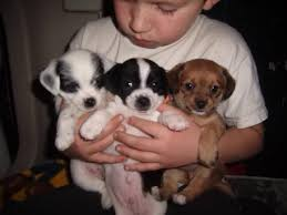Do Long Haired Chiweenies Shed by Rat Cha Rat Terrier X Chihuahua Mix Info Temperament Training