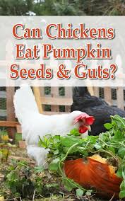 Can Rabbits Eat Roasted Pumpkin Seeds by Can Chickens Eat Pumpkin Seeds U0026 Guts Backyard Poultry