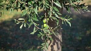 überwinterung olivenbäumen so geht s focus de