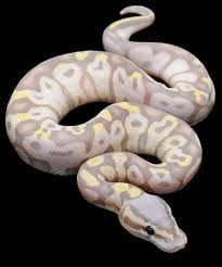 Ball Python Shedding Signs by 28 Best Snakes Images On Pinterest Beautiful Snakes Ball Python