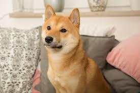 shiba inu pets at home