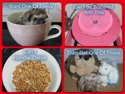 african pygmy hedgehog care preloved uk