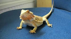 Bearded Dragon Shedding In Patches by Bearded Dragon Problems Youtube
