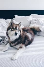 Do Pomskies Shed Fur by 16 Best Siberian Husky Images On Pinterest Siberian Huskies