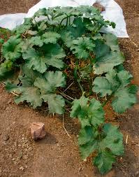 Albuquerque Pumpkin Patch 2015 by Giant Pumpkin Patch Growing Giantveggiegardener