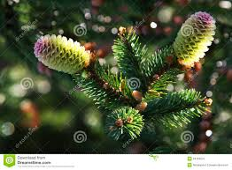 Silvertip Fir Christmas Tree by Two Young Pine Cone Christmas Tree In Water Droplets Stock Image