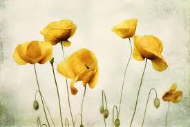 Yellow Poppy Photography