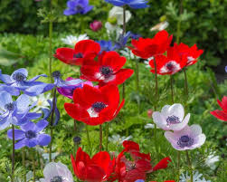 anemone de caen bulbs buy at farmer gracy uk