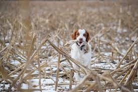 List Of Dogs That Shed A Lot by Shed Hunting Dog Training How To Train Your Dog To Shed Hunt