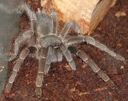 Do Tarantulas Molt Upside Down by Spiders At Spiderzrule The Best Site In The World About Spiders