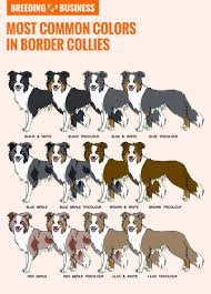 How To Breed Border Collies — History Best Practices & Health
