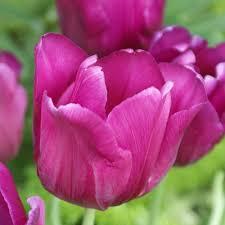 tulip purple prince 25 bulbs or buy in bulk flowering bulbs